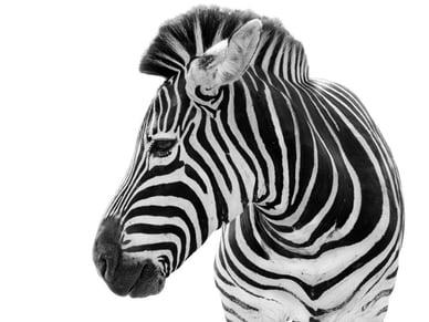 shutterstock_132332930_zebra-1024x768